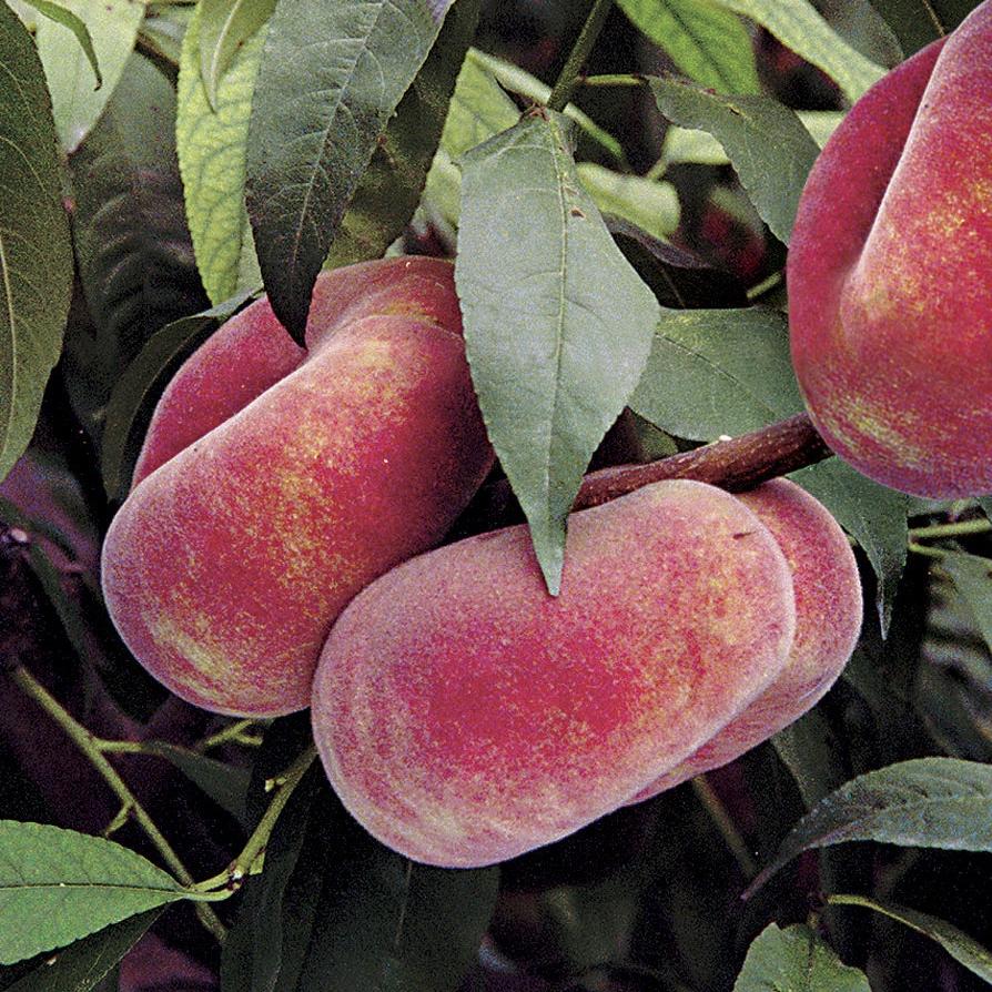 Saturne peach tree rocket gardens for The peach tree