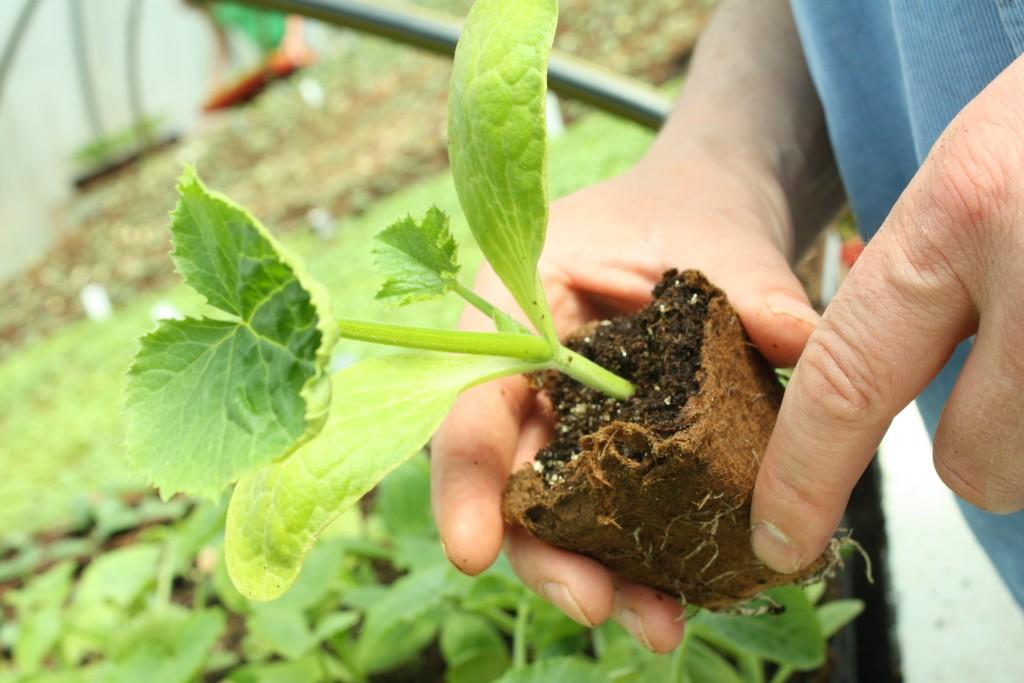 yellow summer squash plant