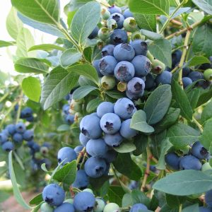 Brigitta Blueberry Plant