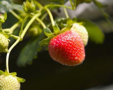 Cambridge Favourite Strawberry