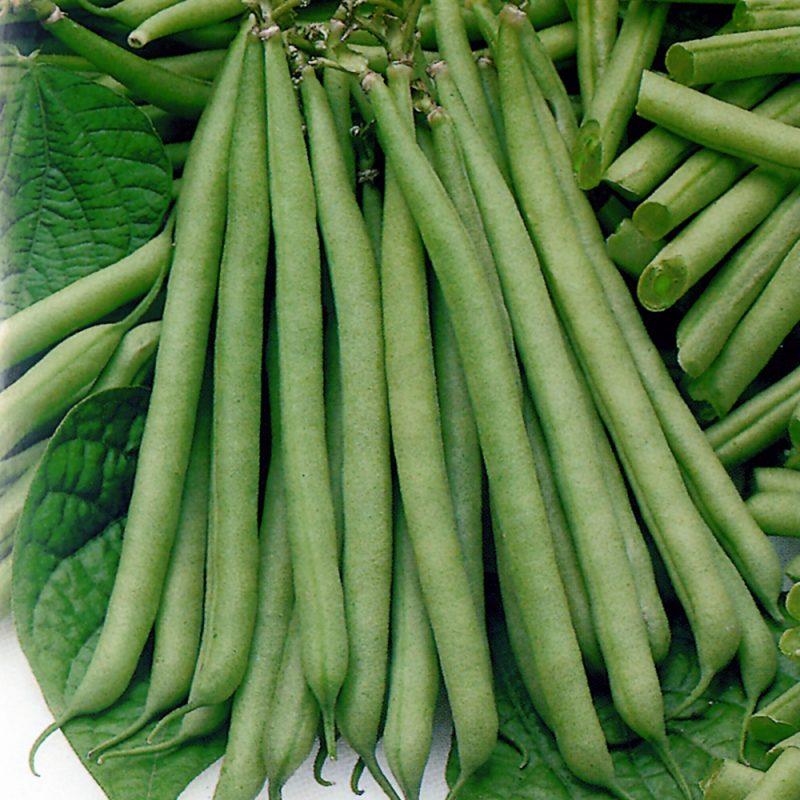 Dwarf French Green Bean