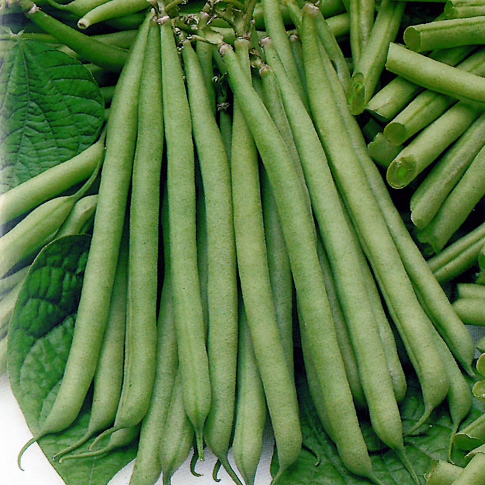 Dwarf French Green Bean