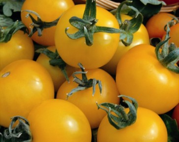 Golden Sunrise Tomato