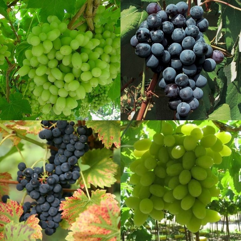 Grow Your Own Vineyard