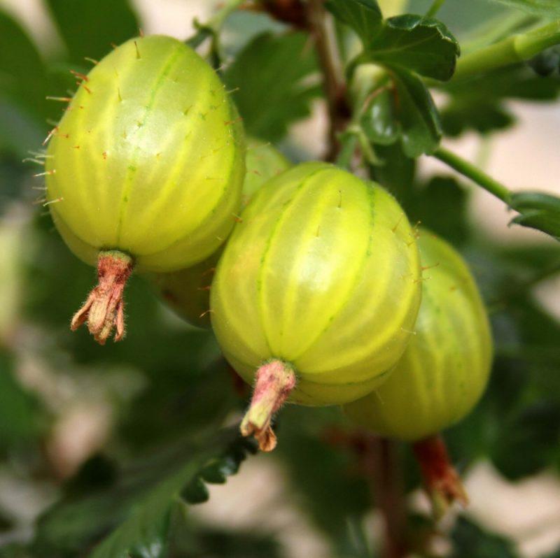 Invicta Gooseberry Bush