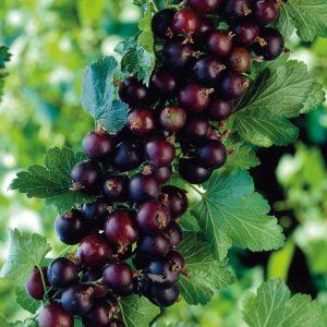 Ribes nigrum Josta