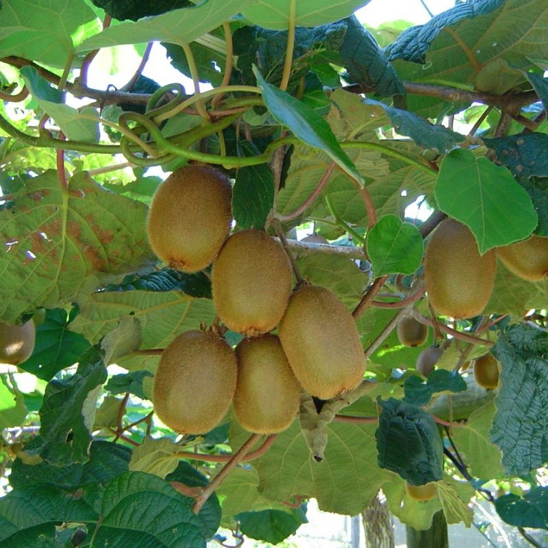 how to grow a kiwi fruit