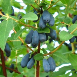 Morena Honeyberry