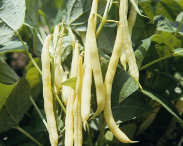 Orinoco Dwarf French Bean
