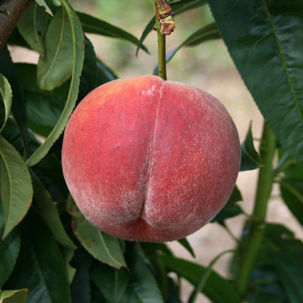 Rochester peach tree rocket gardens for The peach tree