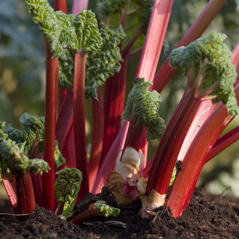 Three Organic Rhubarb Crowns