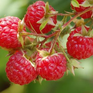Tulameen Raspberry Canes