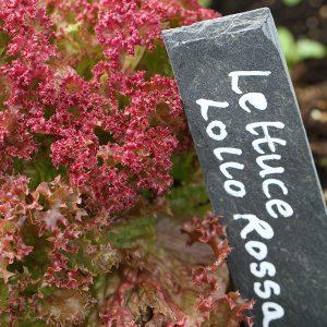 lettuce-lollo-rossa-1