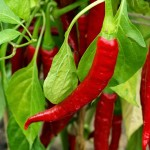 ring of fire chilli