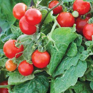 tiny tim tomato