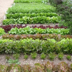 salad patch