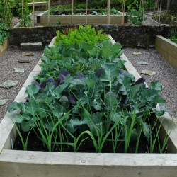 super healthy brassica collection