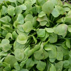 winter purslane