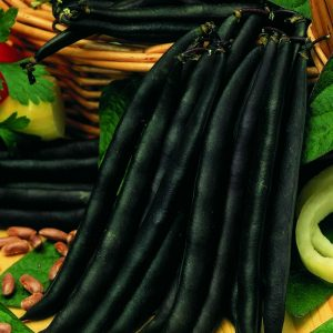 purple-queen-dwarf-french-bean