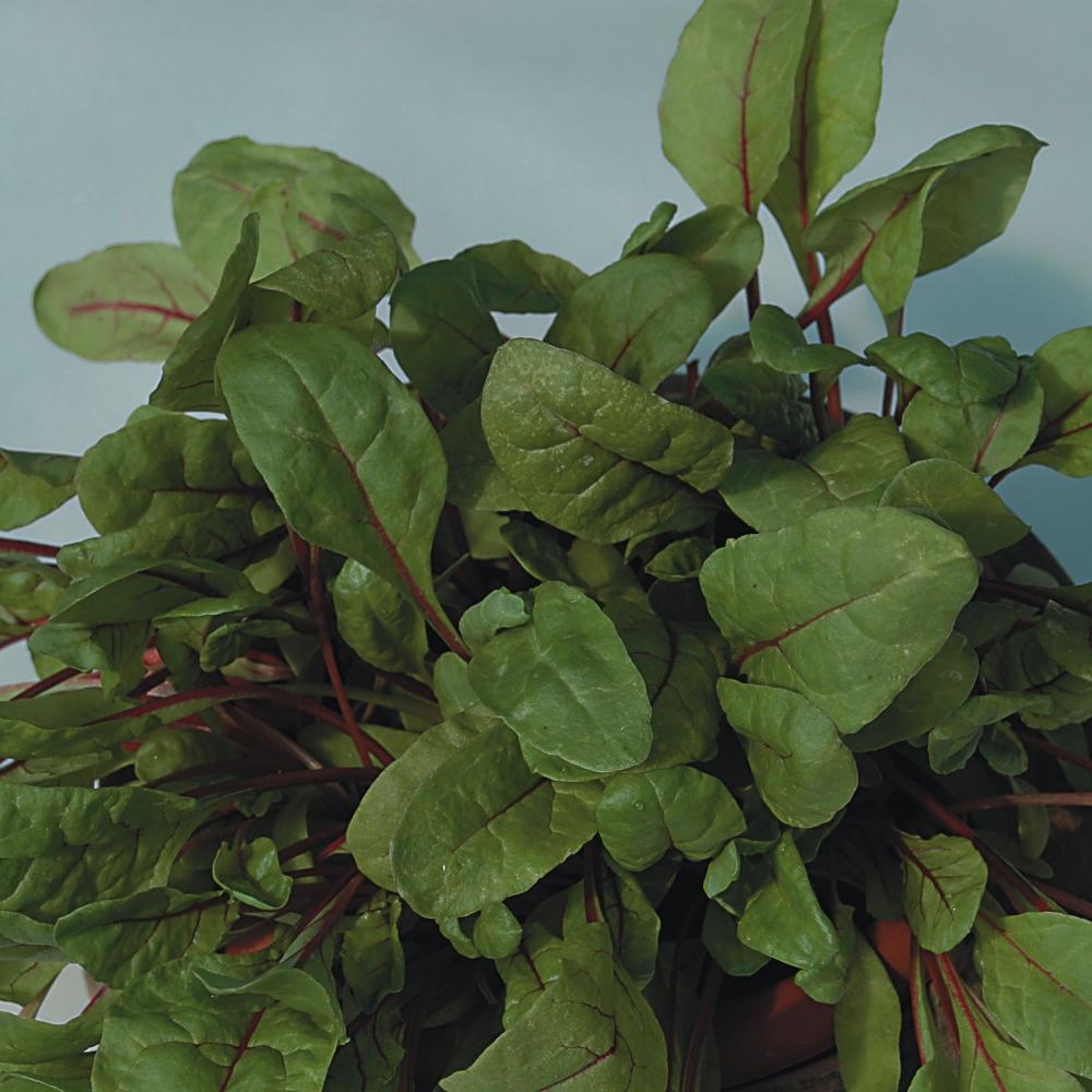 Rhubarb Companion Plants: Rocket Gardens