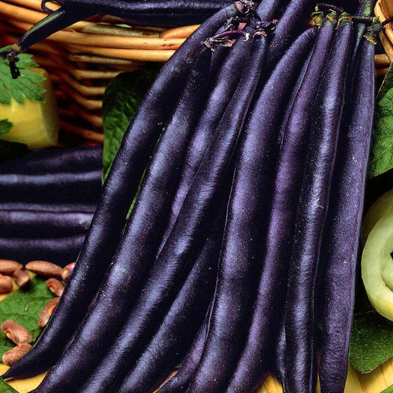 purple queen bean