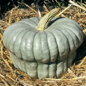 queensland-blue-winter-squash