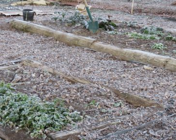 frosty veg patch