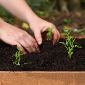 carrot-seedlings-planted