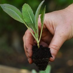 cauliflower-seedling-2