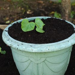courgette-in-pot