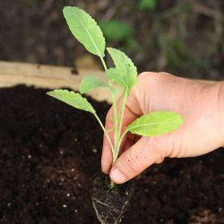 kale-seedling