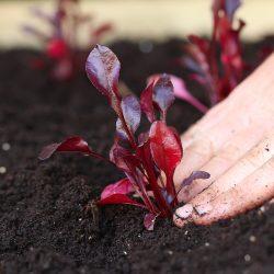 leaf-beet-planting