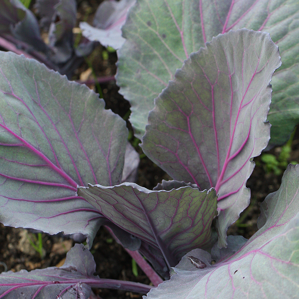 how to grow red cabbage
