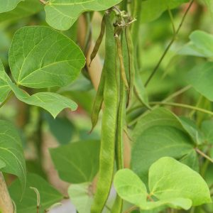 runner-beans-growing-4