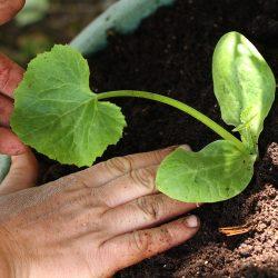 squash_planting