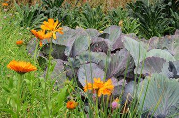 Companion Plants